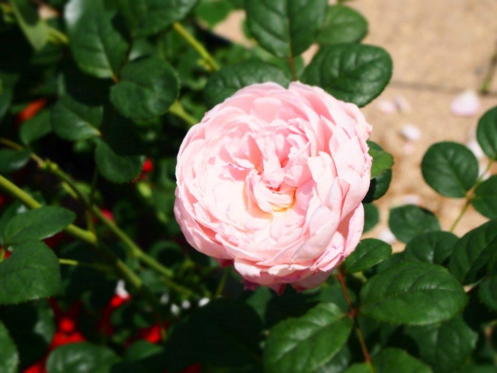 Kanoya Rose Garden Kagoshima Japan