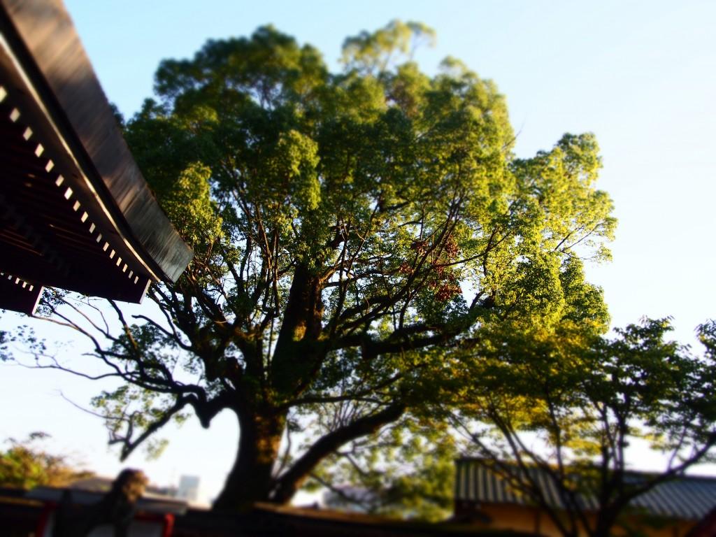 鹿児島神社 クスノキ 楠 camphor tree kagoshima shrine