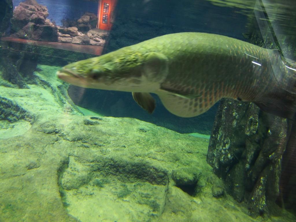 Arapaima Gigas Kagoshima Aquarium