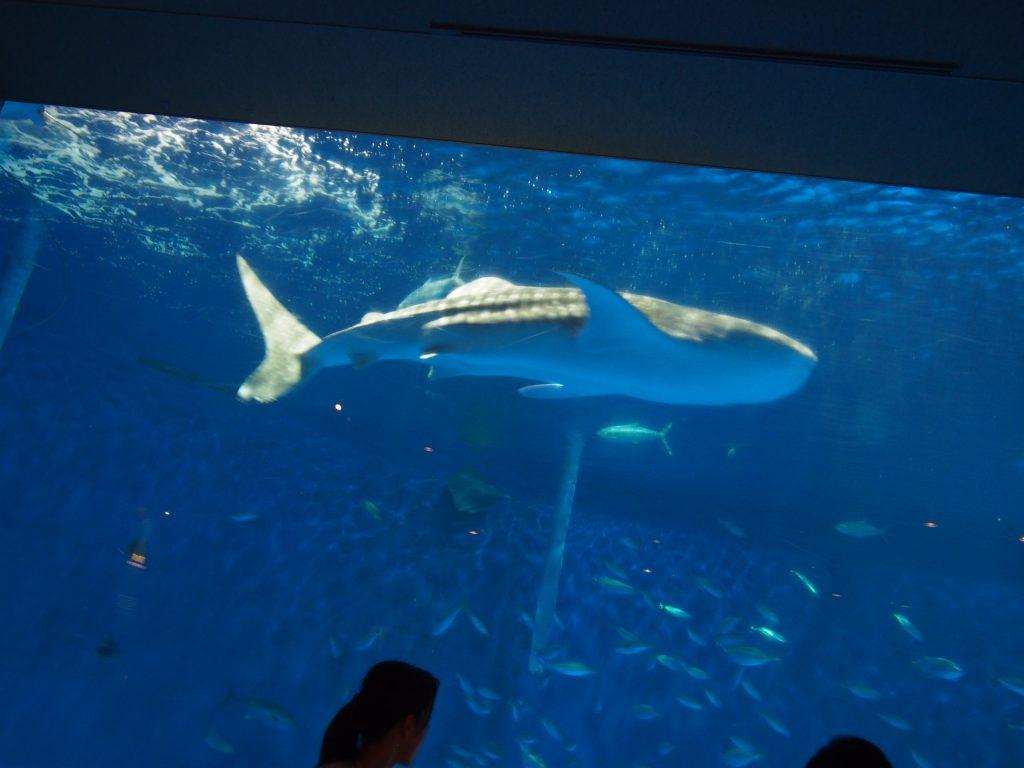 かごしま水族館のジンベイザメ