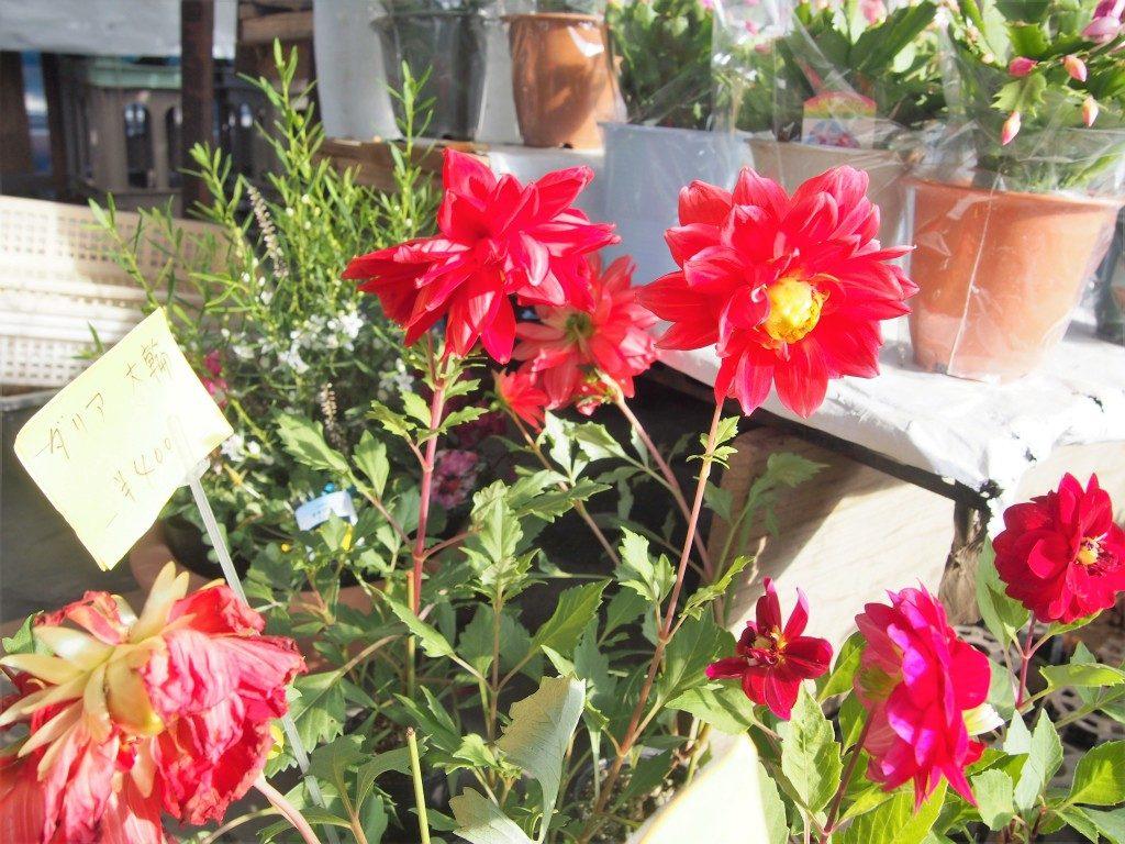 dahlia flower of tree market