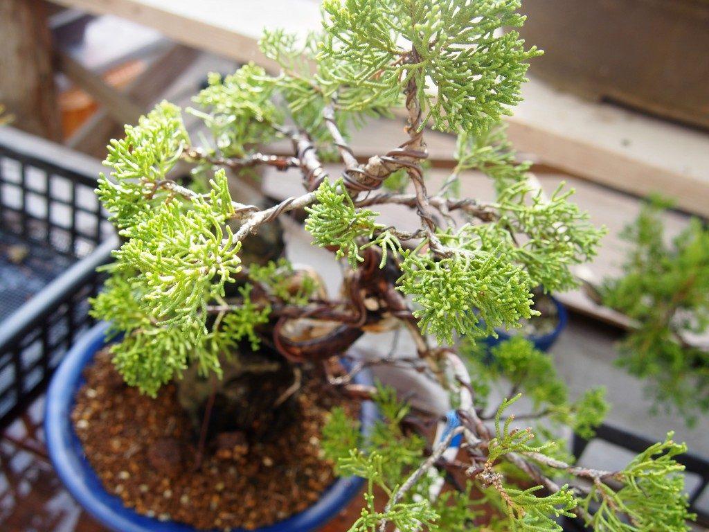 bonsai art of tree market