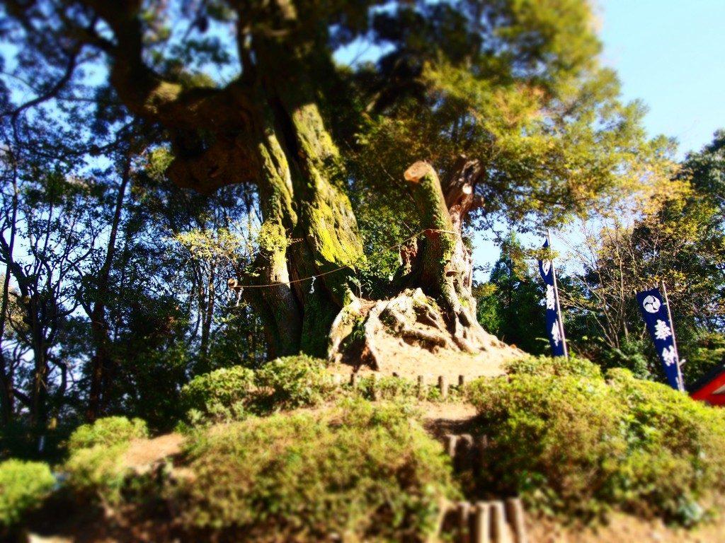 八幡神社の御神木