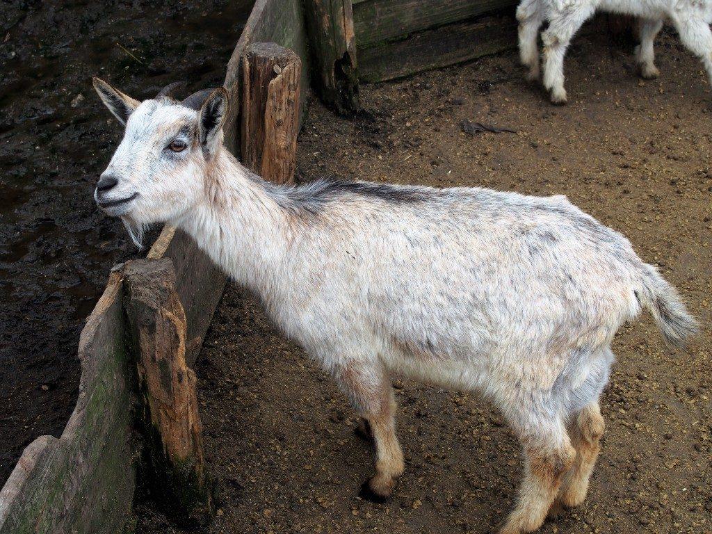 高千穂牧場のヤギ