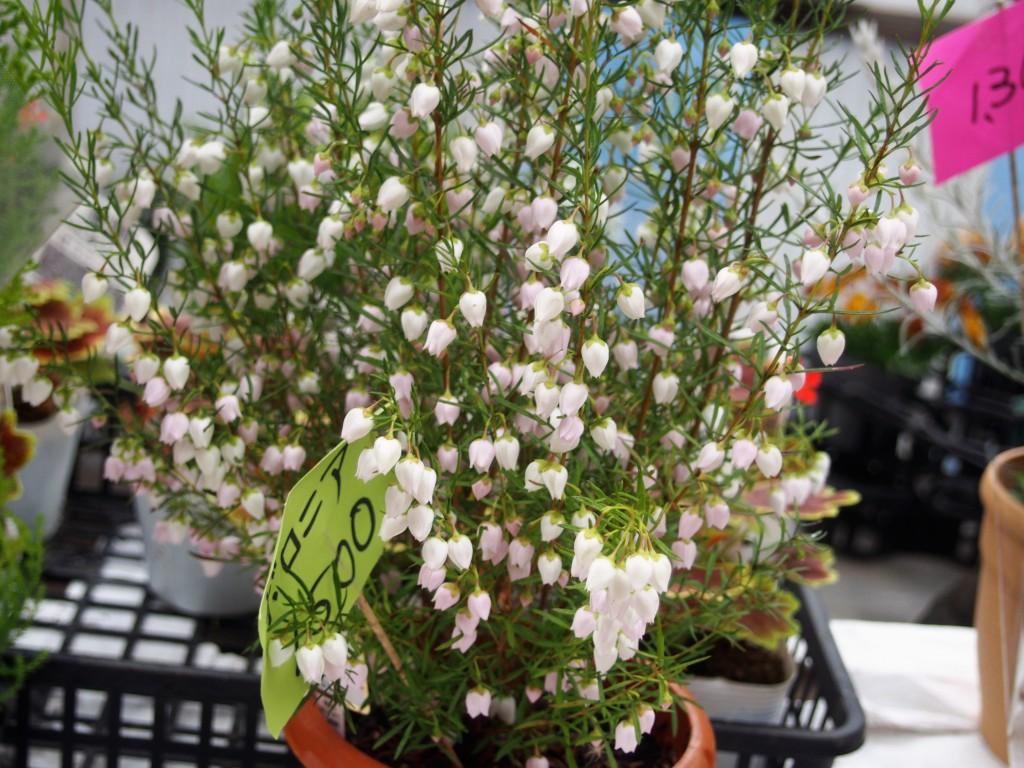 ボロニアの花