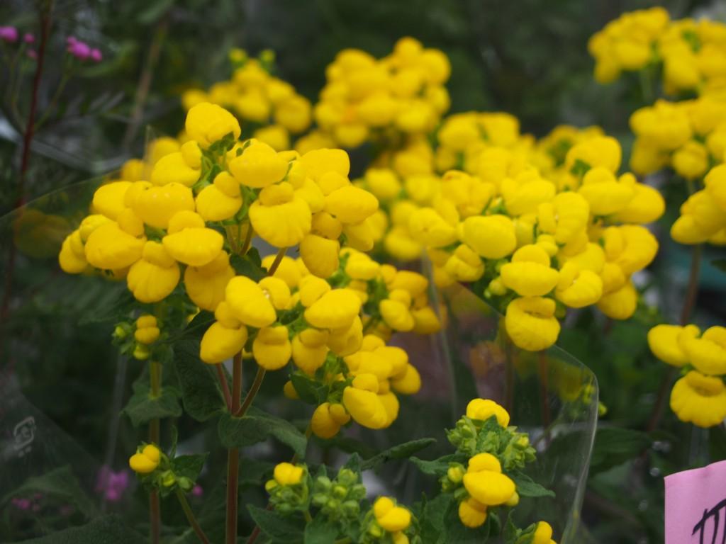カルセオラリアの花