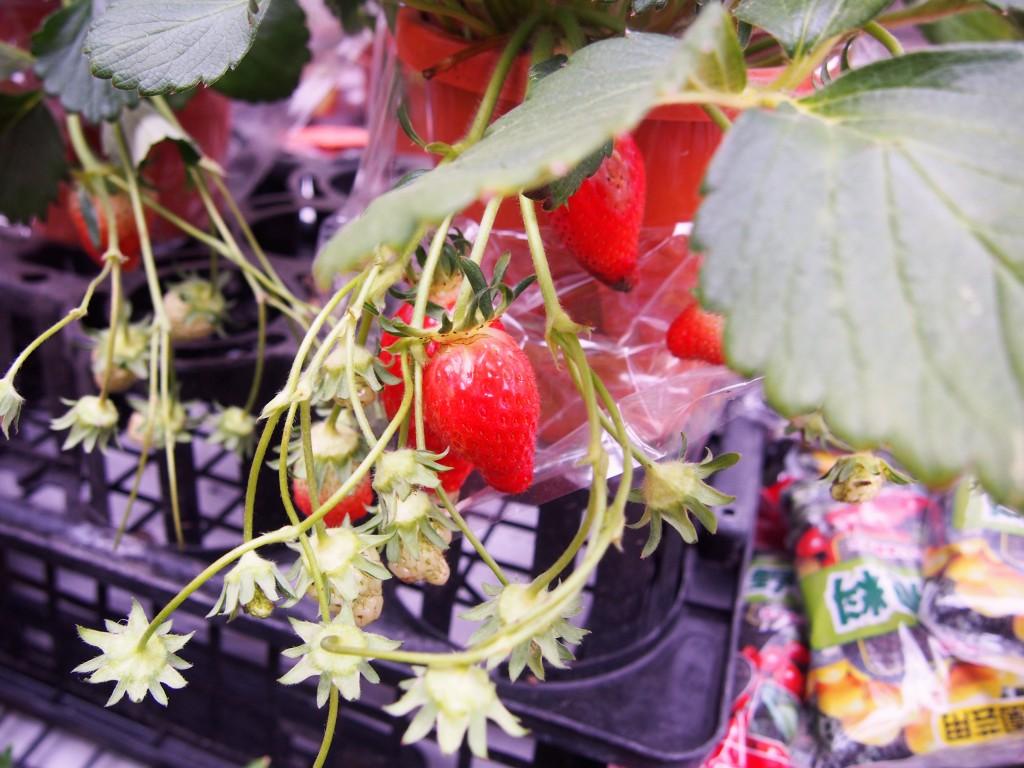 春の木市のイチゴ