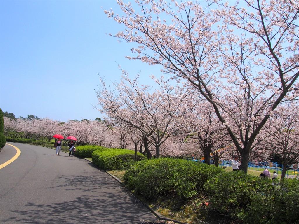 鹿児島県立吉野公園の桜並木