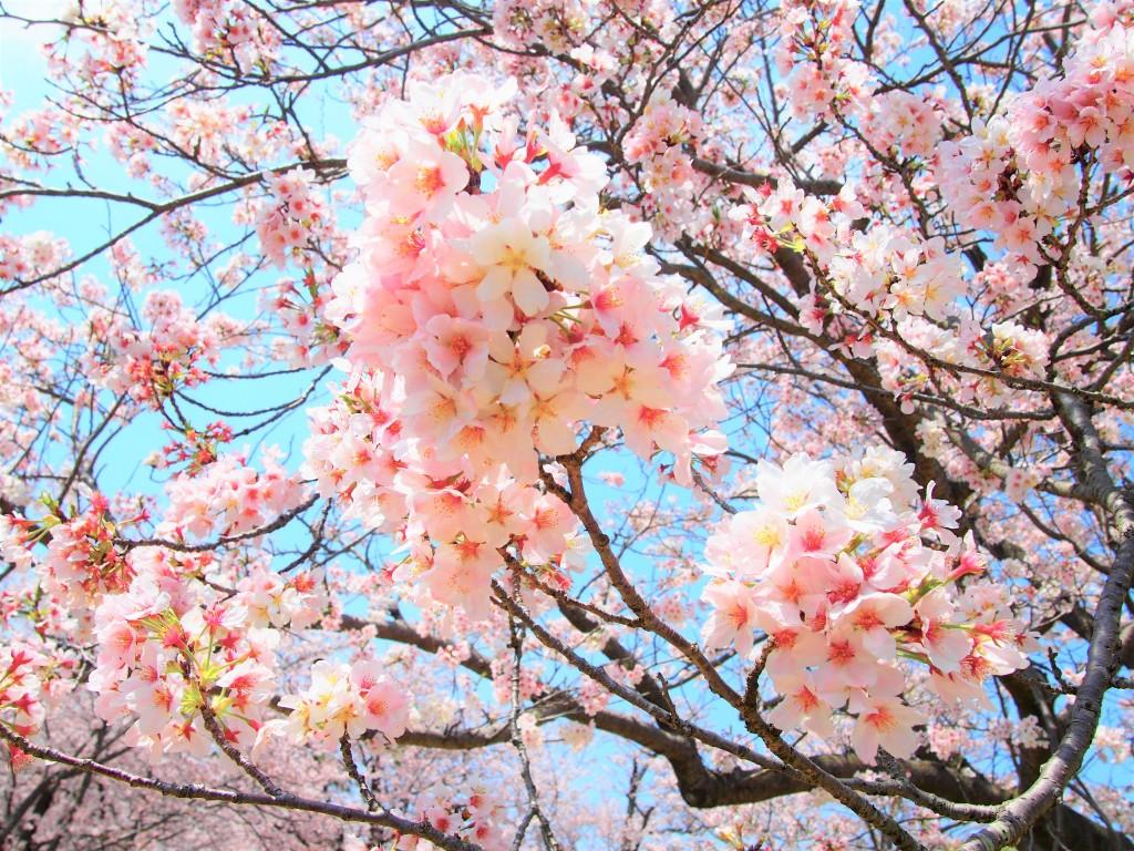 鹿児島県立吉野公園の桜