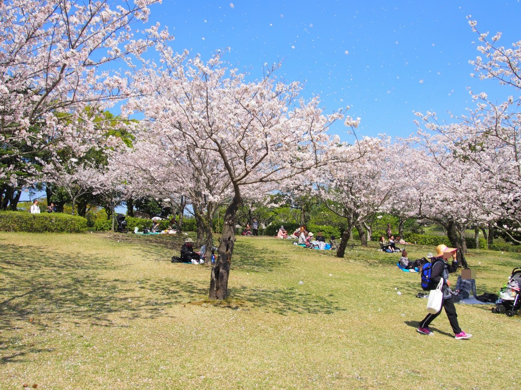 鹿児島県立吉野公園の桜吹雪