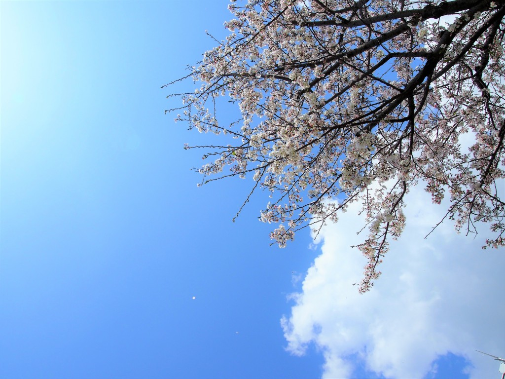cherry blossom