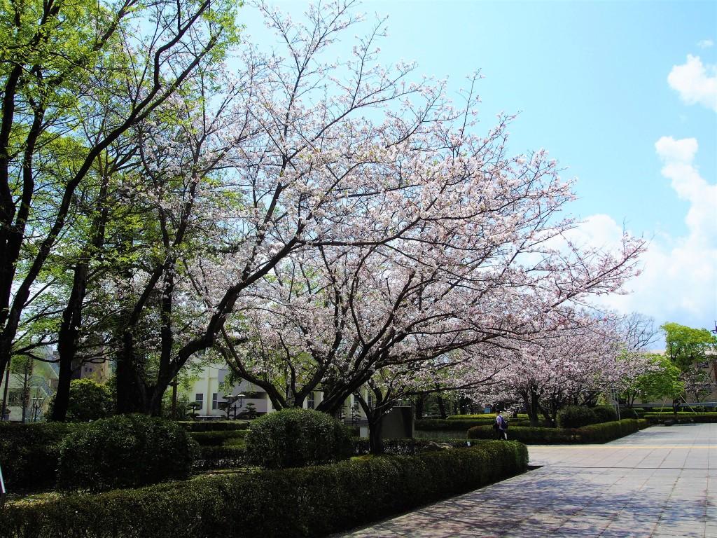 鹿児島県立図書館の桜