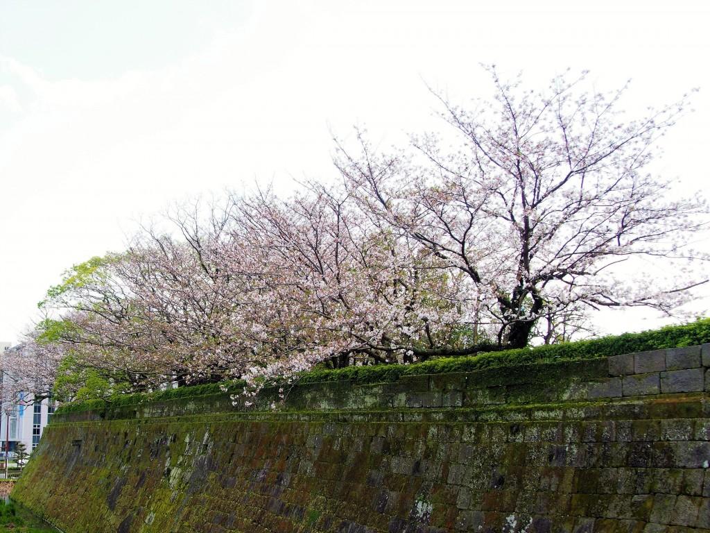 鶴丸城の桜