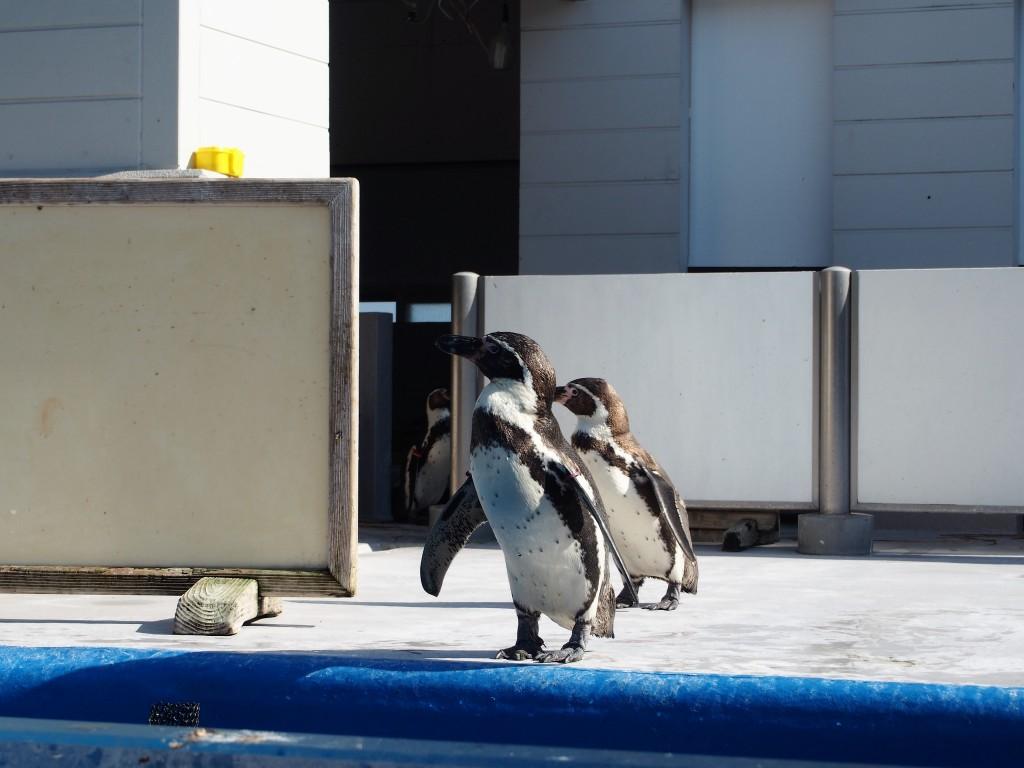 志布志大黒イルカランドのペンギン