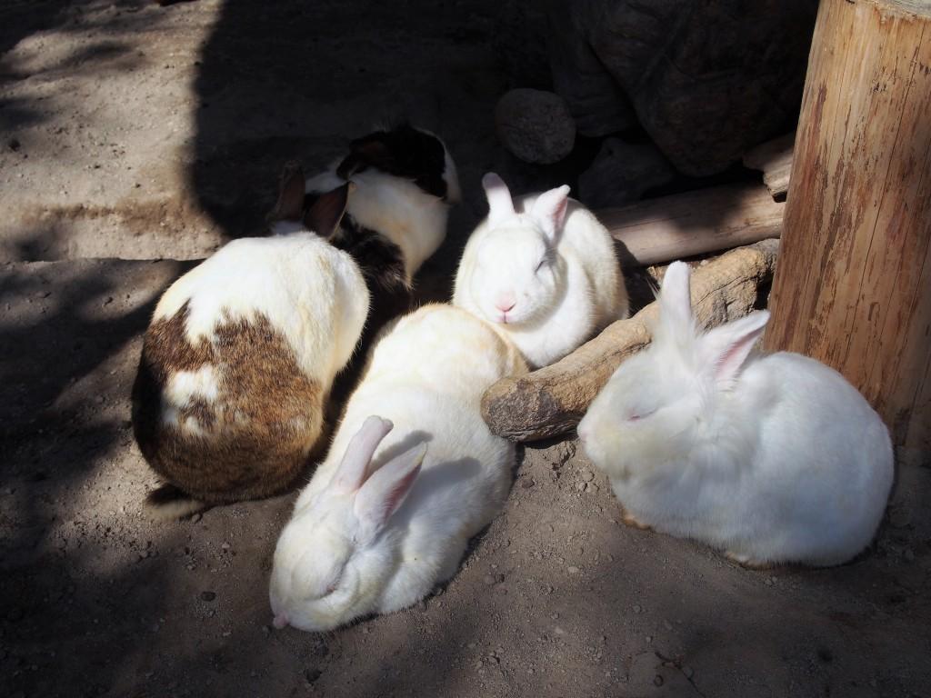 志布志大黒イルカランドのウサギ