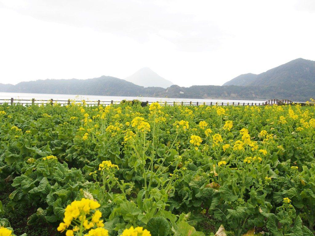 『池田湖パラダイス』前の菜の花畑