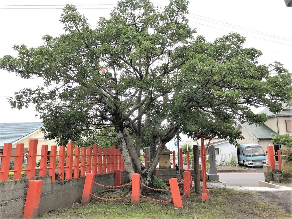 御神木のアコウの木