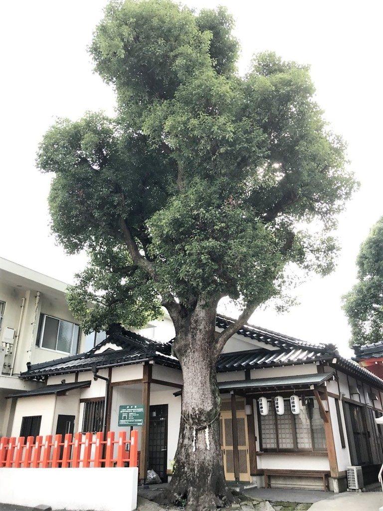 日枝神社の御神木