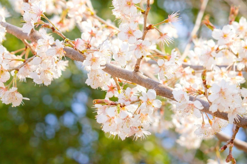 桜お花見アイキャッチ