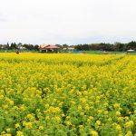 菜の花の名所スポット「鹿児島都市農業センター」開花時期や見頃は?
