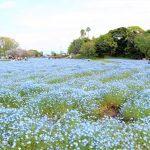 美しい青色の絨毯!慈眼寺公園のネモフィラ(2019年)鹿児島市