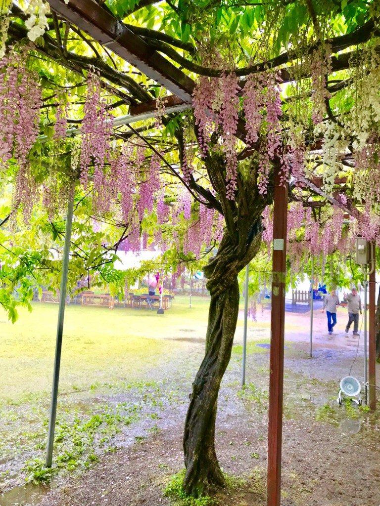 和気神社の藤まつり