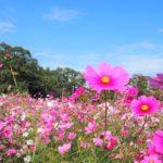 鹿児島市「慈眼寺公園」のコスモス園2019年 見頃などご紹介